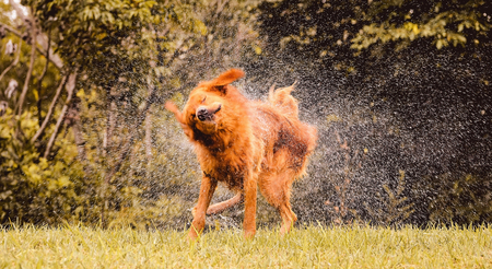 Wet dog shaking and splashing water drops all around. Beautiful wet Golden Retriever dog after on nature.