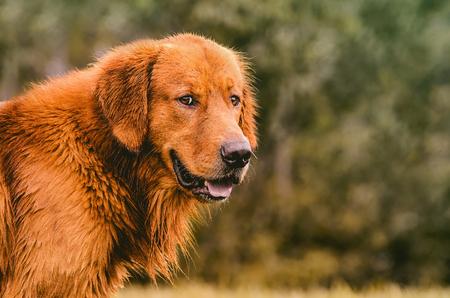 Portrait of a Golden Retriever on nature.