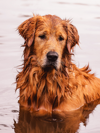 Portrait of a Golden Retriever dog free, on the outdoors (nature scene) on the water of a lake. Stock Photo