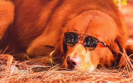 Funny scene of a dog (golden retriever) wearing sunglasses. Dog resting on the ground with a nature background. Warm colors.