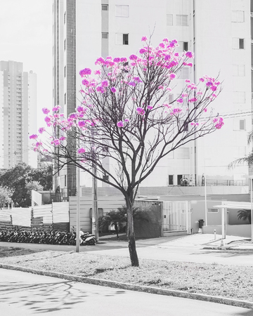 Blooming ipe tree on the middle of two streets on a urban scenery. Selective color, black and white with pink colored flowers. Stock Photo
