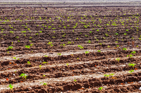 Field with a manioc plantation. Small growing manioc plant. Brazilian agriculture.