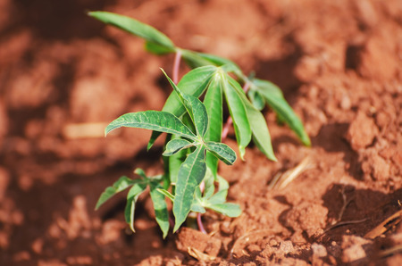 Small growing manioc plant. Brazilian agriculture. Stock Photo