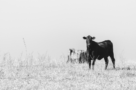 Black cow on a drought pasture of a farm. Countryside difficulties during a drought. Black and white photo. Cow on right.
