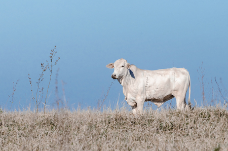 White cow on a drought pasture of a farm. Countryside during a drought. Cow on right.