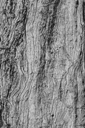Black and white texture of a bark of a tree trunk. Old tree.