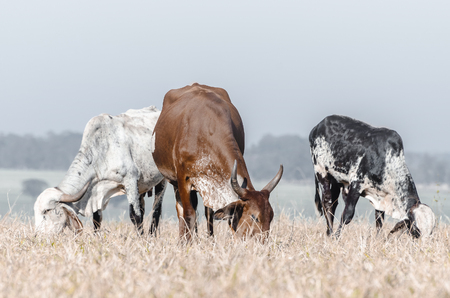 Three cows grazing. Cows of a farm eating grass of the field. Drought pasture.