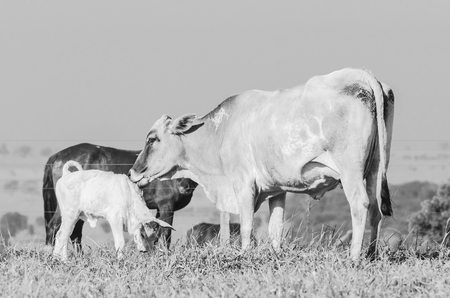 White cow licking her newborn calf. Cow taking care of her calf. Black and white photo. Stock Photo