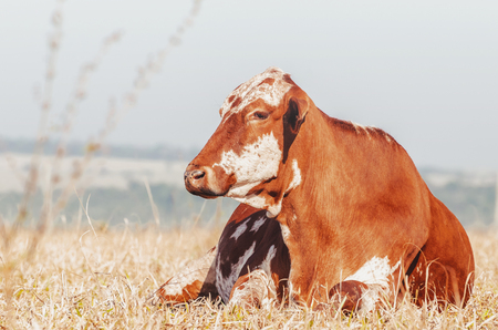 Brown cow lying on the grass. Cow resting on the drought pasture of a farm.