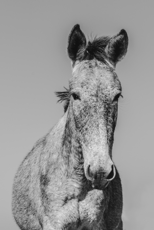 Portrait of a mule. Black and white headshot of a mule, front view, farm animal.