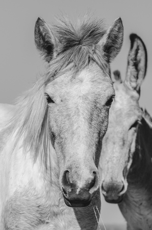 Portrait of two mules. Black and white headshot of mules, farm animals.