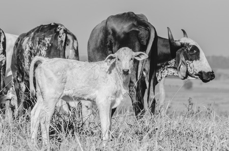 Black and white photo of a calf on the pasture of a farm with some milky cows around.