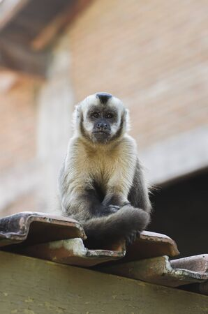 Lonely monkey on top of a roof, on a urban area due to deforestation. Primate Macaco Prego Sem Topete - Sapajus, Caiarara, brazilian - south american animal.