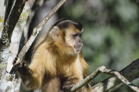 Wild monkey on top of a tree, holding on branches. Primate Macaco Prego, brazilian - south american animal.
