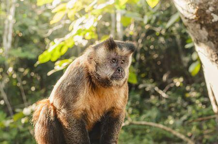 Wild monkey in the jungle. Primate Macaco Prego - Sapajus gender. Brazilian - south american animal.