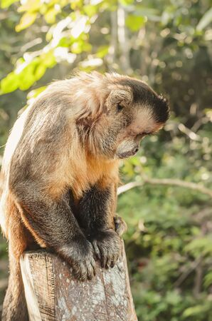 Monkey seated on a stump looking down searching for something. Primate Macaco Prego - Sapajus gender. Brazilian - south american animal.