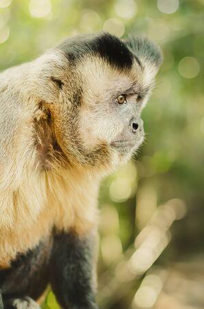 Profile of a wild monkey in the jungle. Primate Macaco Prego (nail monkey), Sapajus. Brazilian - South American animal.