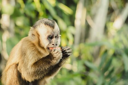 Wild monkey cub in the jungle eating an apple fruit. Primate Macaco Prego (nail monkey), Sapajus. Brazilian - South American animal. Space for text.
