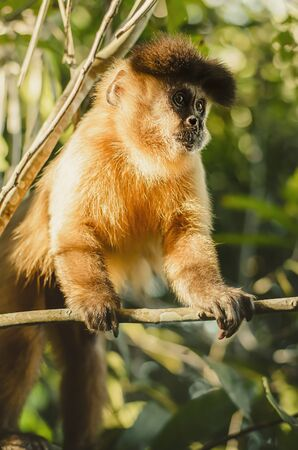 Wild monkey on top of a tree, holding on the tiny branches. Primate Macaco Prego, brazilian - south american animal. 版權商用圖片