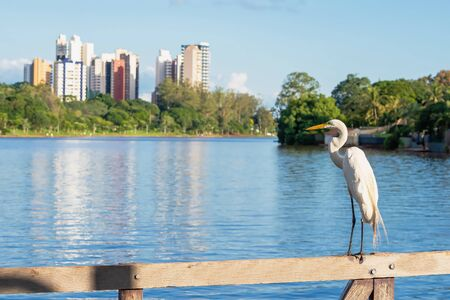 White egret on a wooden fence with a view to a lake of a green city. Trees on the lakeshore and few buildings on the background. Photo of the Igapo lake, Londrina PR Brazil.