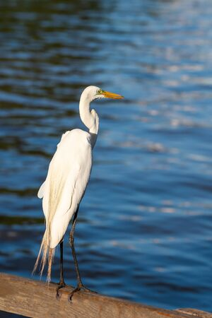 White egret on a wooden fence of a lake deck.