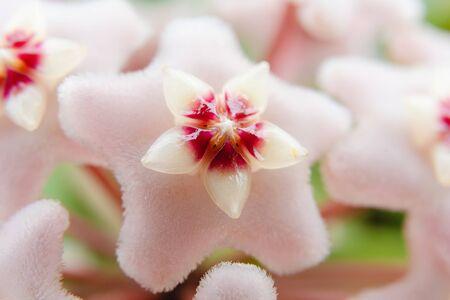 Star shape flower, Hoya Carnosa, also known as porcelain flower or wax plant. Macro photo on the flower. 版權商用圖片