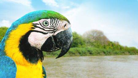 Blue and yelllow macaw of the Brazilian Pantanal. Wild bird known as Arara Caninde. Bird on a nature background. 版權商用圖片 - 149550079