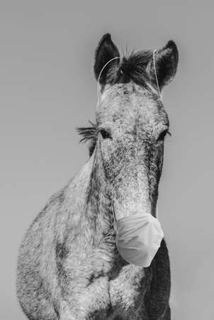 Portrait of a mule with a mask. Concept of prevention with an animal wearing a face mask during the COVID-19 pandemic.