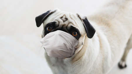 Dog with a face mask. Concept of dog care during the COVID-19 pandemic. 版權商用圖片