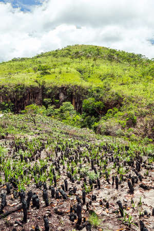 Vegetation of the Brazilian Cerrado on the hills of Capitólio, Minas Gerais state. Burned Canela de Ema plants on foreground, native plant of Cerrado. 版權商用圖片