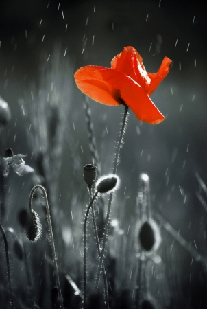 a memorial to fallen soldiers: Wild red poppy Stock Photo