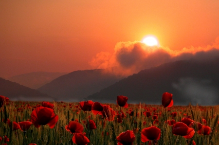 Zomerpapavers veld bij zonsondergang Stockfoto