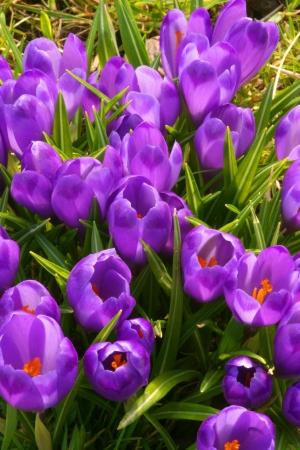 Purple crocus flowers in the spring time photo