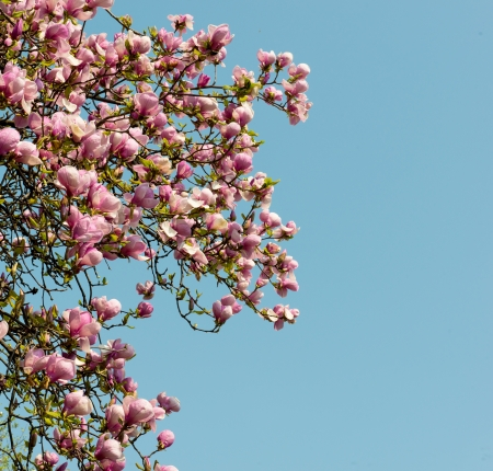 Pink magnolia tree blossoms in springtime against the blue sky photo