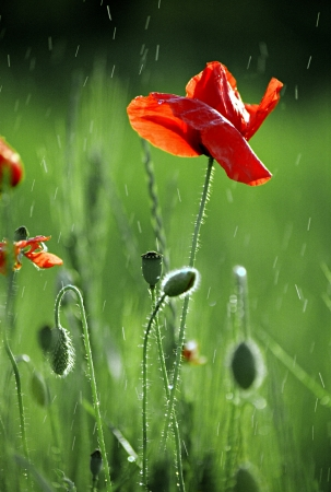 Close-up of red poppy flowers in summer 写真素材