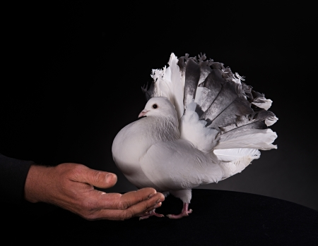 White Pigeon and Male Hand on Black Background photo