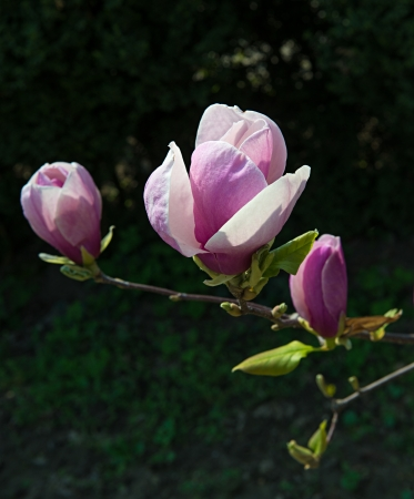 Pink magnolia tree blossoms in springtime photo