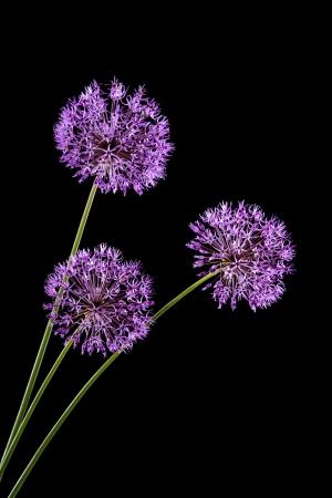 Violet Garlic Flowers on a black background photo
