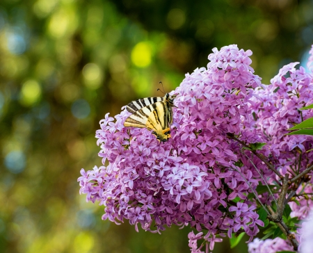 Beautiful butterfly sitting on a lilac flower photo