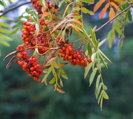 sorbus: Bright rowan berries on a tree