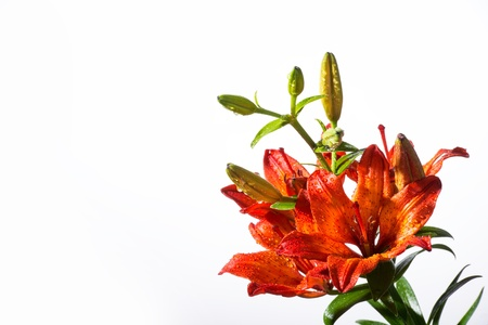 Orange lillies on a white background Stock Photo - 21493429