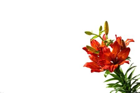 lemony:  Orange lillies on a white background Stock Photo