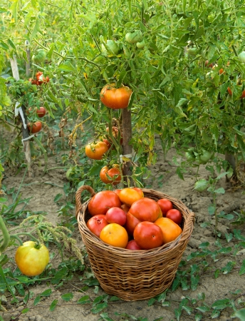 Harvested tomatoes in basket on the ground at the farm