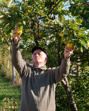 cropping: Farmer cropping quinces in the garden