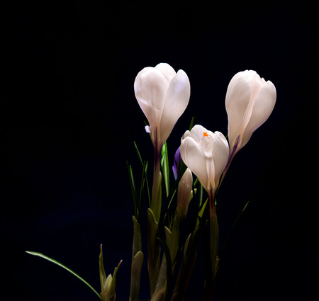 Crocus Spring Flowers on a dark backgrouns photo