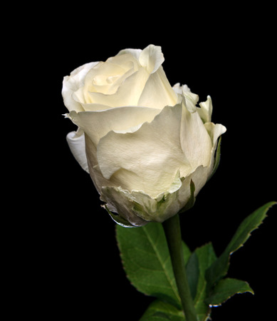 Beautiful white rose on a dark background photo