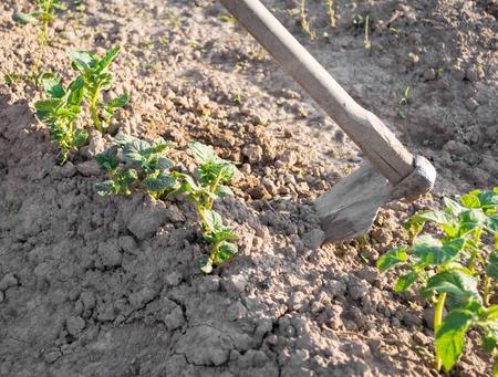 hoeing: Farmer gardening  Hoeing potatoes