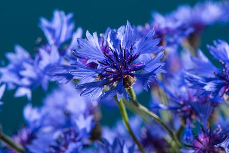 Cornflowers  Blue Flowers Blooming  Background photo