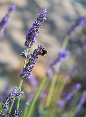 lavendar: Bee on lavendar flower
