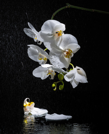 Phalaenopsis. White orchid on black background and water reflection photo